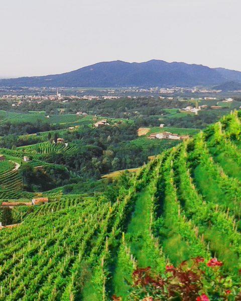 seminare bella Italia 480x600 - Ganz in Weiß - die schönsten Weißweine Europas